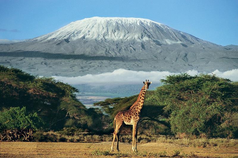 Где-то там изысканный бродит жираф…