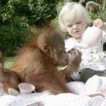 Что общего между шимпанзе и двухлетними детьми?
